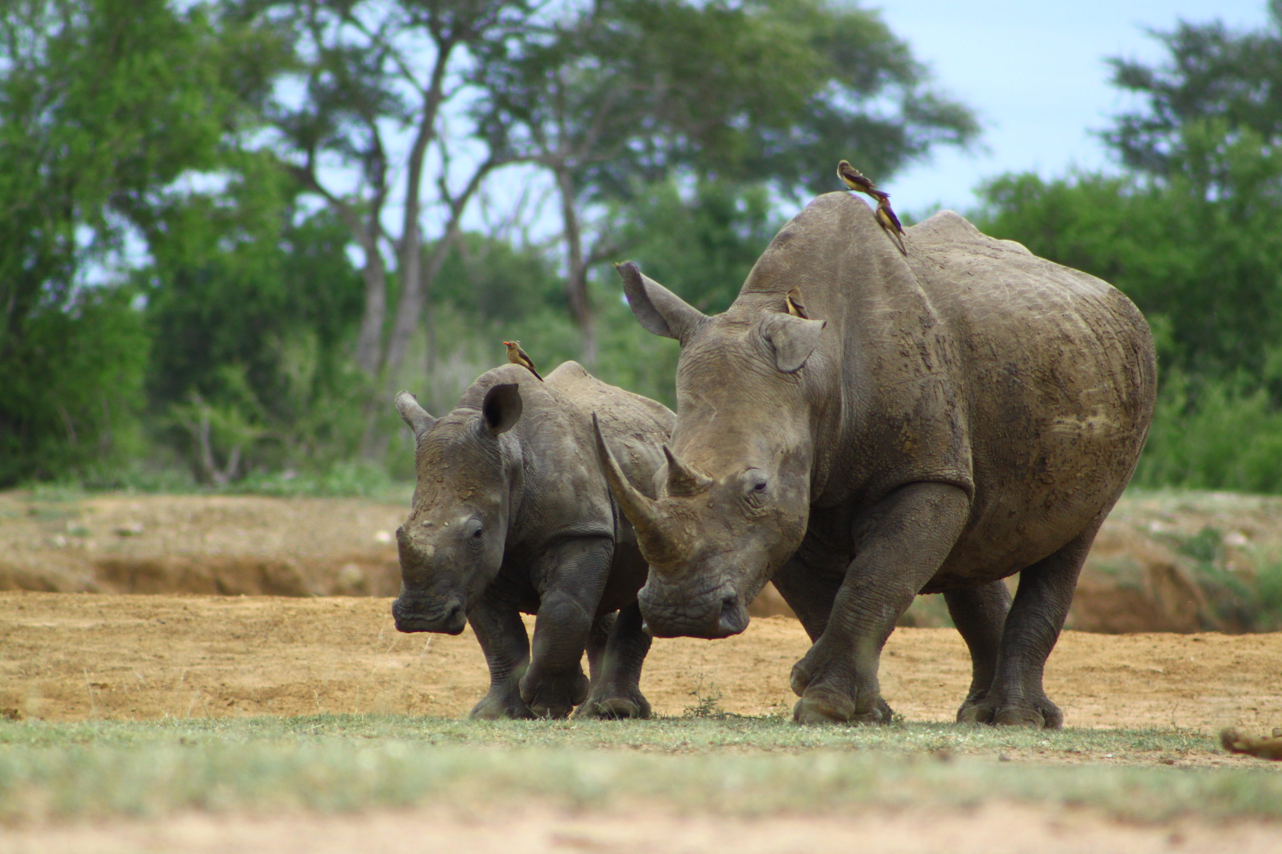 GCC Celebrates World Rhino Day 2020